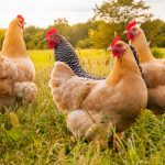 Feeling clucky?? Here's how to be a good egg in a hen's eyes
